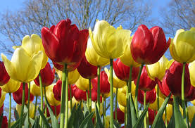 Adam tulips