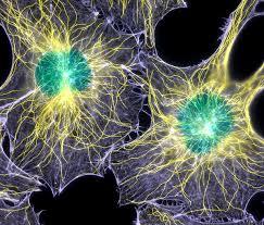 cells divide